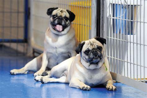 wa state pug rescue pugs aplenty nwadg