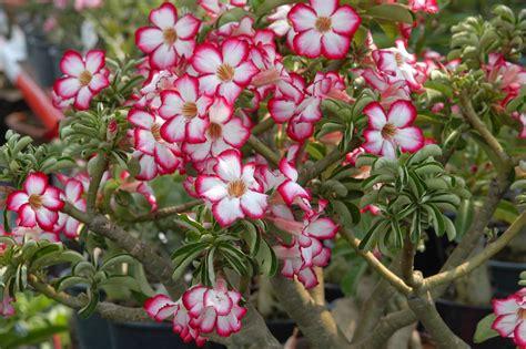 Tempat Jual Bibit Bunga Kamboja cara merawat tanaman dan aneka tanaman hias ini cara