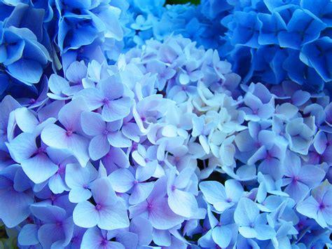 printable blue flowers blue hydrangea flowers art print baslee troutman