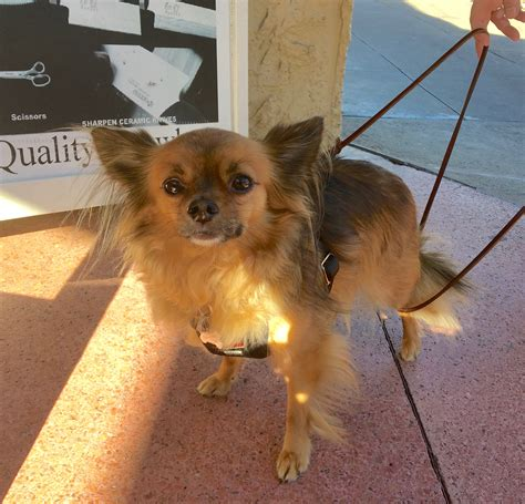 cuts for chihuahua papillon mix cuts for chihuahua papillon mix actually i love the city