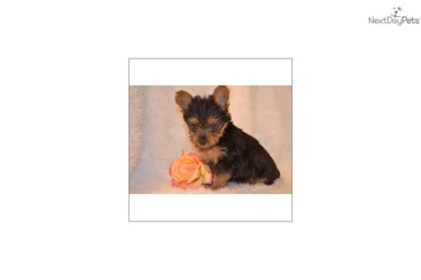 9 pound yorkie meet 443898 a terrier yorkie puppy for sale for 750 tiny 1 9