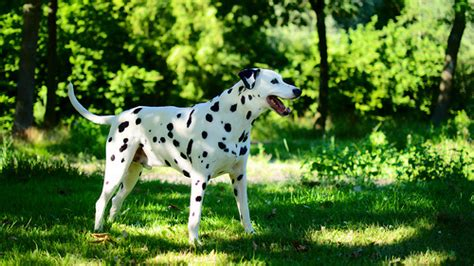how much do dalmatian puppies cost how much do dalmatian puppies cost howmuchisit org