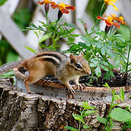 How To Keep Chipmunks Out Of The Garden by How To Keep Chipmunks Out Of Garden Keeping Animal Pests Out Of Your Garden Gardener S Supply