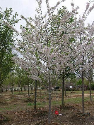 yoshino cherry tree facts yoshino cherry family name
