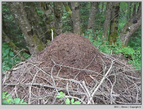 formiche volanti formiche elitron disinfestazioni e consulenze