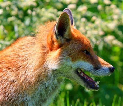 fox in the hen house fox in the hen house weasyl