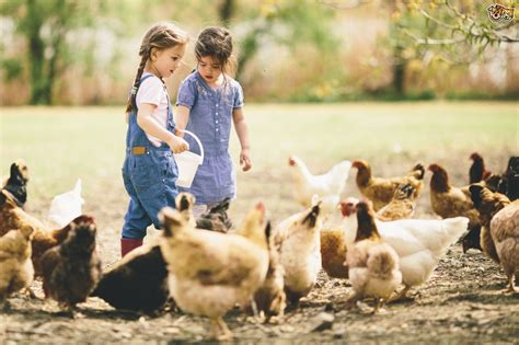 feeding dogs chicken top tips on how to feed your chickens pets4homes