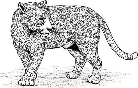 jaguar cat coloring page jaguar picture coloring pages bulk color