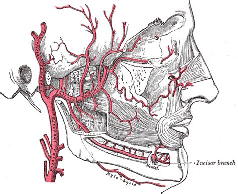 arteria mascellare interna arteries of the and neck dr sigona s and neck