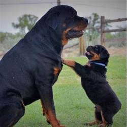 top 100 rottweiler names rottweiler that s one big rottweilers rottweilers