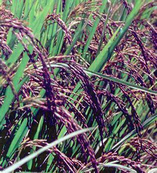 Beras Curan Beras Merah Hitam Dan Putih Khas Cianjur 1kg jenis jenis padi mediatani