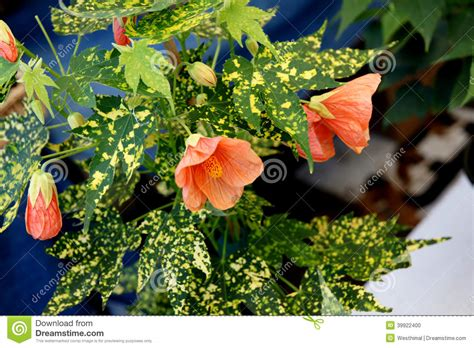 maple tree droopy leaves variegated thompson s flowering maple stock photo image 39922400