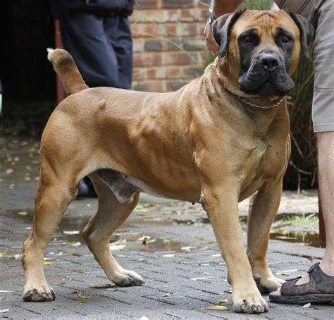 boerboel mastiff puppies south boerboel mastiff dogs mastiff breeds