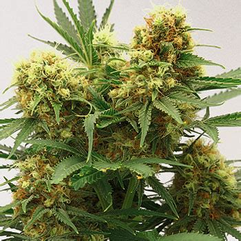 master kush (by growi seeds amsterdam) :: seedfinder