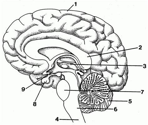 brain diagram worksheet blank brain diagram to label anatomy organ
