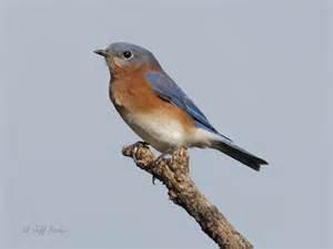 ecobirder eastern bluebird