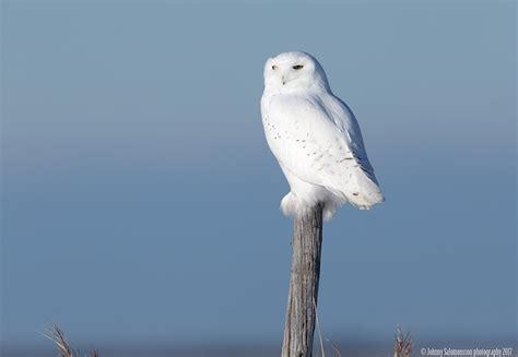 Canon Creative Park Snowy Owl By Radoslawkamil On Deviantart - snowy owl bubo scandiaca sneugle author johnny