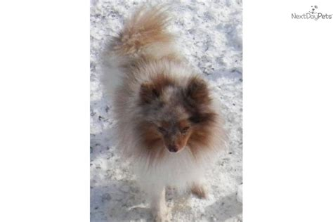 pomeranian puppies rochester ny pomeranian puppy for sale near rochester new york f0f2755c 1b51
