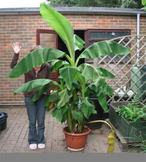 tiny musa banana tree best 25 banana plants ideas on grow banana