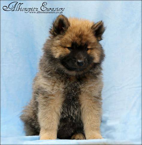 eurasier puppies for sale eurasier puppies norfolk pets4homes