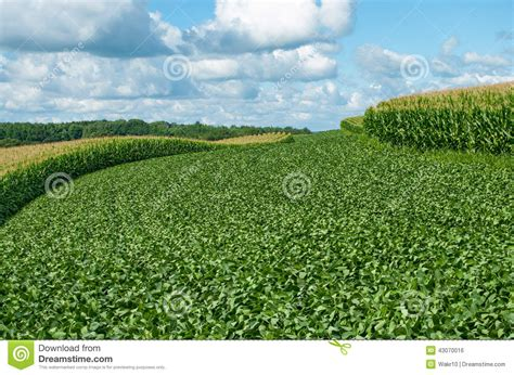 Can Soybeans Be Planted To Detox Land by Rows Of Green Soybeans Against The Blue Sky Soybean