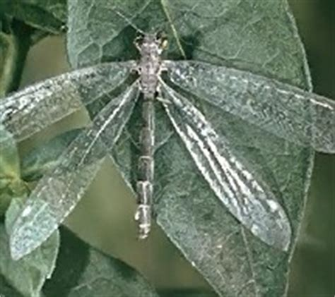 doodlebug insect facts neuroptera pictures information classification and more