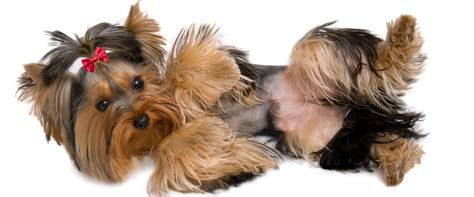 top 10 cutest yorkies yorkies www pixshark images galleries with a bite