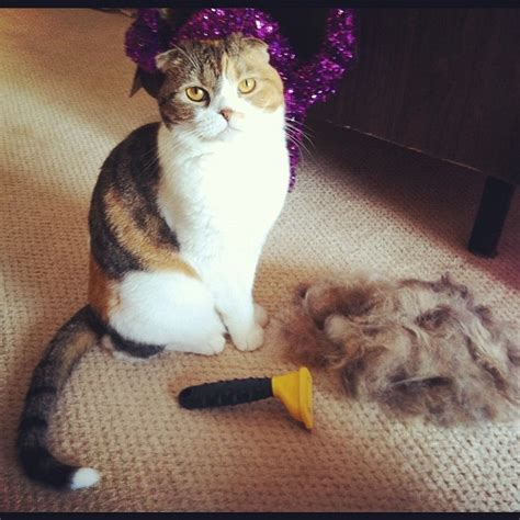Cat Shedding Hair by 9 Best Images About Furminator Ditto Cats On