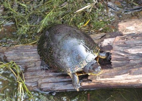 blanding s turtles threatened in pa not yet endangered - Pa Fish And Boat Species