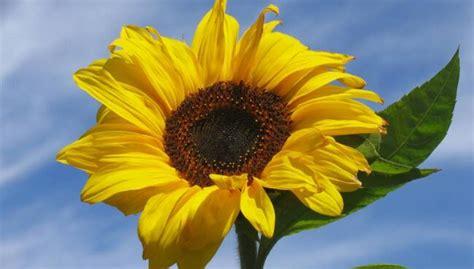 significato girasole fiore significato girasole nel linguaggio dei fiori