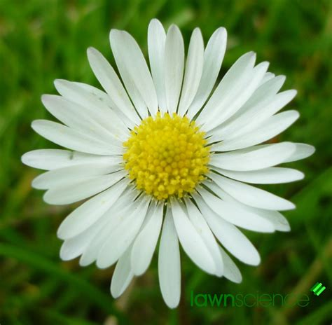 daisy flower daisy flower bellis perennis imgstocks com
