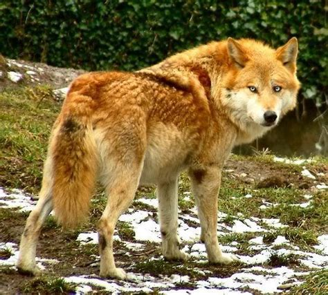 wolf colors colored wolves search wolves