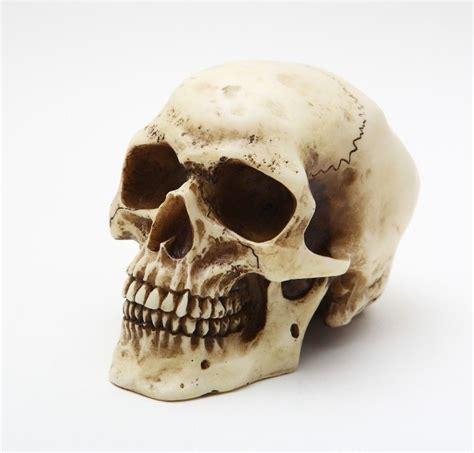small heat l small 4 5 quot l sapien human bonelike skull