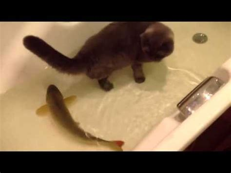 a fish in the bathtub cat friends with a fish cat and fish playing in a bathtub youtube
