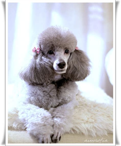 french puddle hair cut 581 best caniches cortes images on pinterest asian style