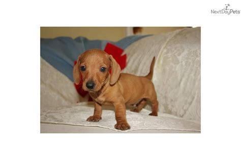 dachshund puppies for adoption dachshund puppy for sale near new york city new york 00ae0884 2b91