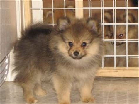 pomeranian puppies for sale in valdosta ga pomeranian breeders in breeds picture