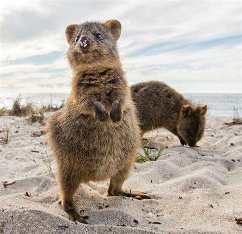 google images quokka 1000 images about quokka on pinterest wombat happy and