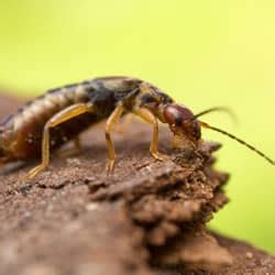 can bed bugs get in your ear the full truth about earwigs crawling in ears
