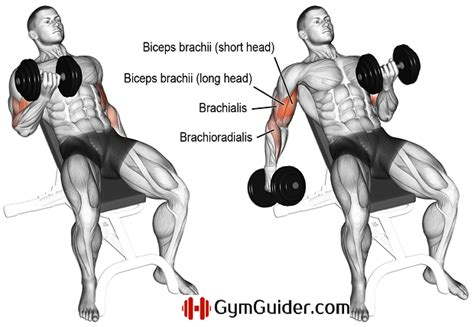 incline bench dumbbell curl the most powerful biceps workout plan gym guider