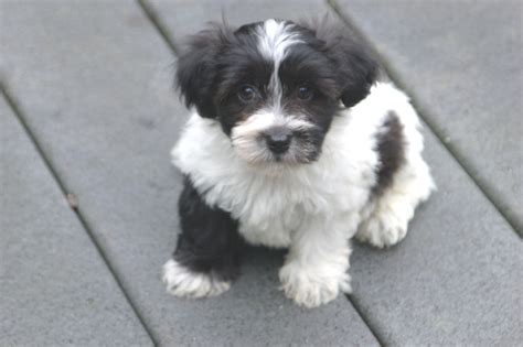 royal flush havanese havanese pictures royal flush havanese