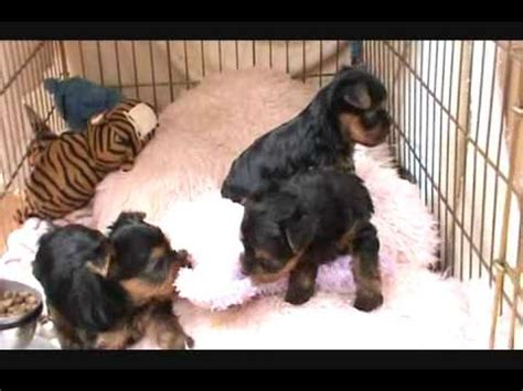 2 month yorkie tiny yorkie puppies awe 1 month the cutest