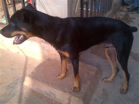 boerboel and rottweiler mix mixed rottweiler boerboel 10 month pets nigeria