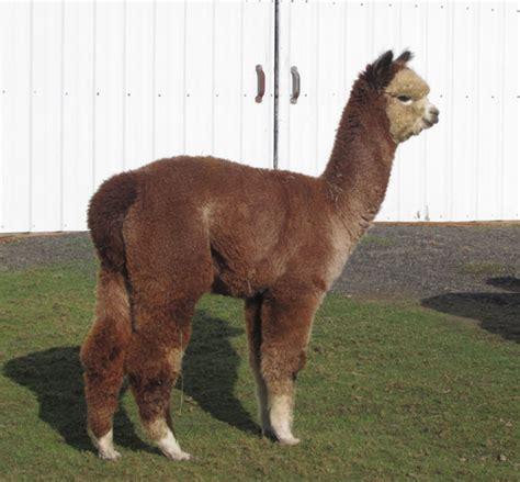 Black Sapphire Plus Alpaka alpaca herdsires sapphire s joe malone huacaya proven washington olympia