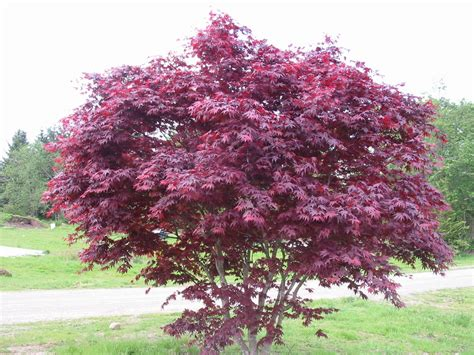 acer palmatum wolff greenscapes