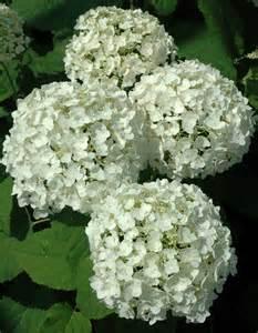 white hydrangeas piedmont carolina nursery 187 archive 187 hydrangea arborescens annabelle