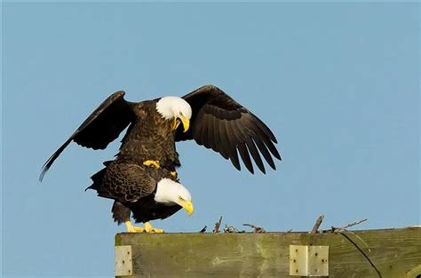 bald eagles mating bald eagles mating photo contest national wildlife