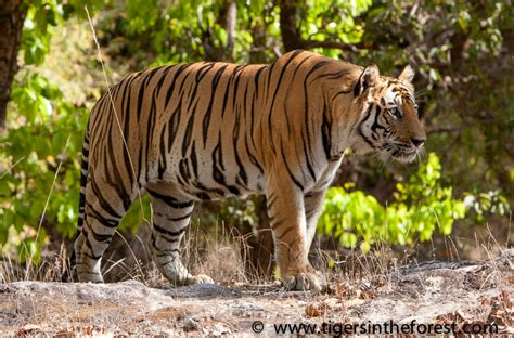 the tiger who would tiger conservation save the endangered tiger