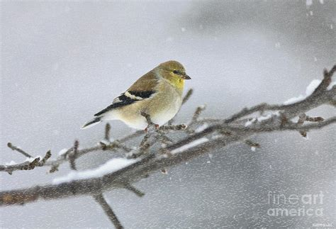 winter finch 2010 by deborah benoit