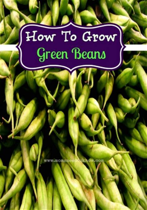 how to grow green beans moms need to know